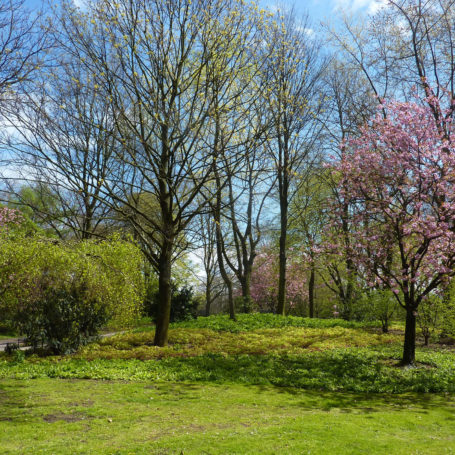 Auf diesem Bild sieht man ein paar Bäume in einem Park. Rechts im Bild steht ein Kirschblütenbaum. Die Wiese ist saftig grün.